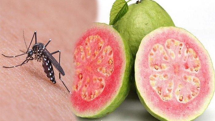 Cara Ampuh Mengusir Nyamuk dengan Jambu Biji, Cara Alami Aman Tanpa Bahan Kimia