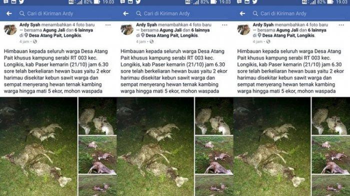Ngeri! 5 Domba Bergelimpangan Diserang Beruang Kalimantan, Ini Faktanya
