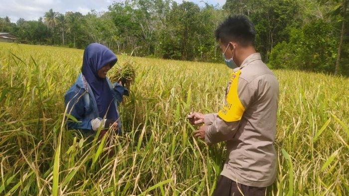 Jaga Ketahanan Pangan, Bhabinkamtibmas Polsek Monterado Sambangi Petani