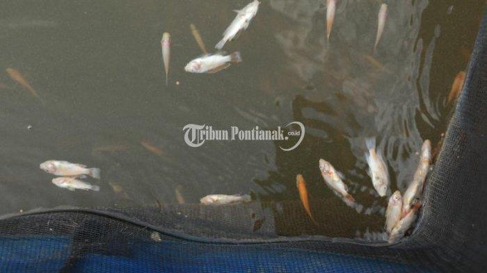 Ribuan Ikan Mati Mendadak di Sungai Kapuas, Petani Temukan Hal Tak Biasa Pada Insang Ikan
