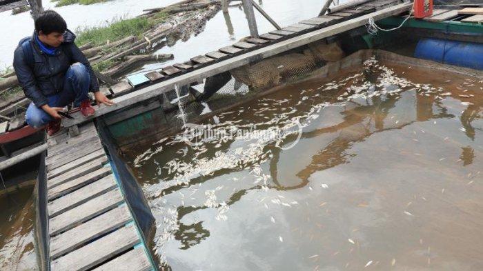 FOTO: Sejumlah Ikan Keramba Milik Petambak di Sungai Landak Mati - ikan-mati-2.jpg