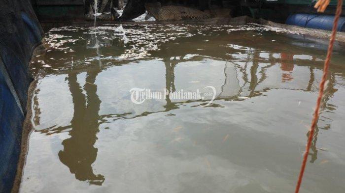 FOTO: Sejumlah Ikan Keramba Milik Petambak di Sungai Landak Mati - ikan-mati-3.jpg