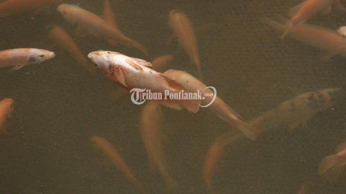 FOTO: Sejumlah Ikan Keramba Milik Petambak di Sungai Landak Mati - ikan-mati-4.jpg