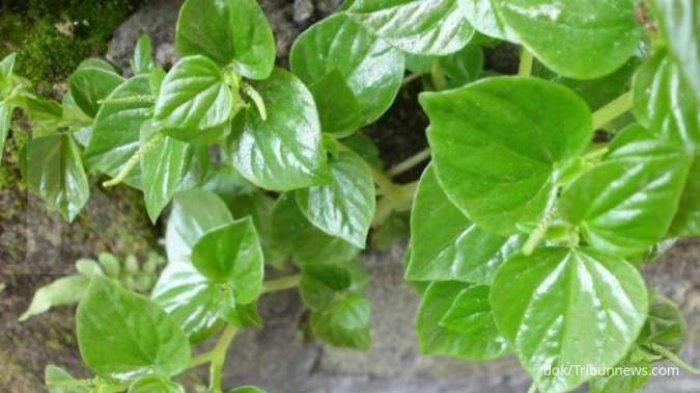 OBAT Herbal Asam Lambung atau GERD Ala dr Zaidul Akbar dan Obat Maag Herbal Paling Mudah
