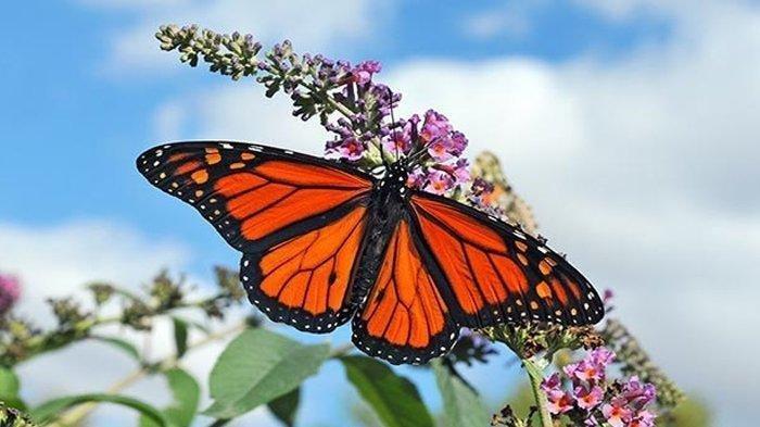 Tentukan Ide Pokok dari Masing-masing Paragraf Bacaan Gerak Kupu-kupu