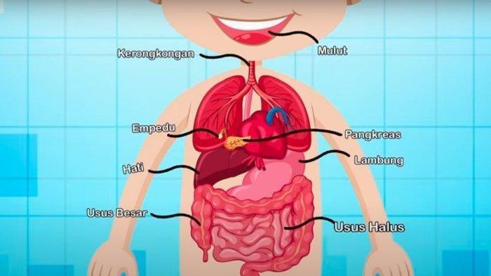Fungsi Organ Pencernaan Manusia Mulai Rongga mulut hingga Anus