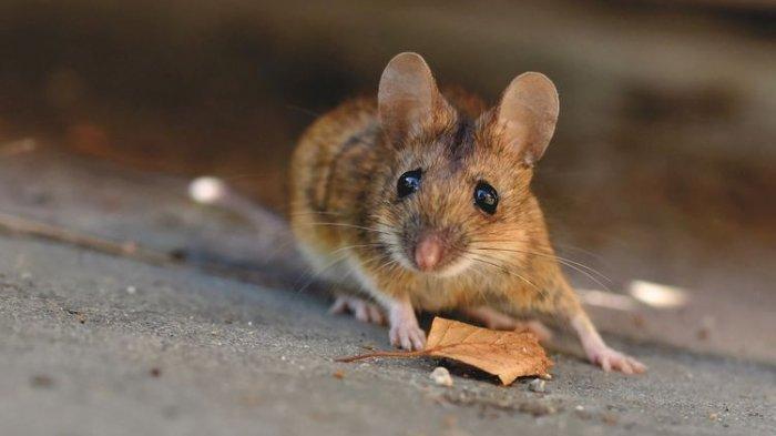 Cara Mudah Menghilangkan Bau Bangkai Tikus dengan Bahan yang Ada di Rumah