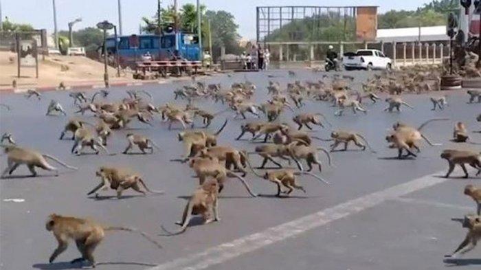 Imbas Wabah Corona, Ratusan Monyet di Negara Ini Mendadak Ngamuk di Jalan hingga Buat Warga Panik