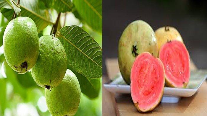 JAMBU Biji Mengandung Vitamin? Jambu biji Adalah Tumbuhan Dimanfaatkan Untuk Mengobati Penyakit?