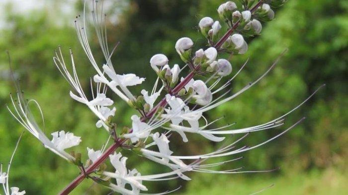 Aneka Jenis Tanaman Herbal untuk Obat Asam Urat