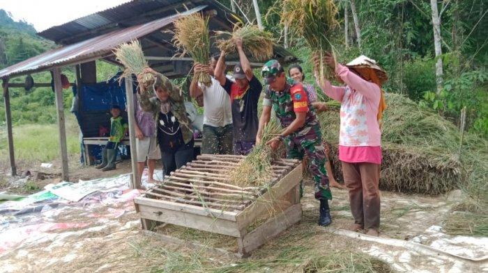 Semangat Babinsa Koramil 1202-07/Ledo Dampingi Petani Panen Padi Tak Pernah Surut