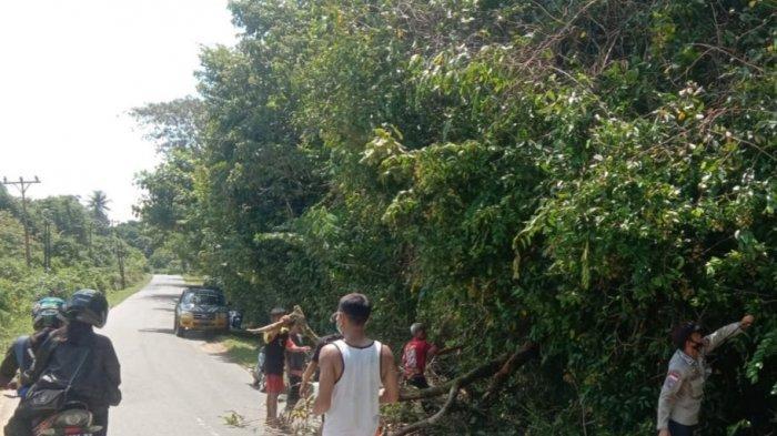 Personel Polsek Ledo Bersama Warga Bersihkan Pohon Tumbang yang Menimpa Badan Jalan