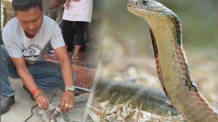 Kepala Ular Kobra Sudah Tegak saat akan Ditangkap, Sempat Semburkan Bisa Racun ke Warga