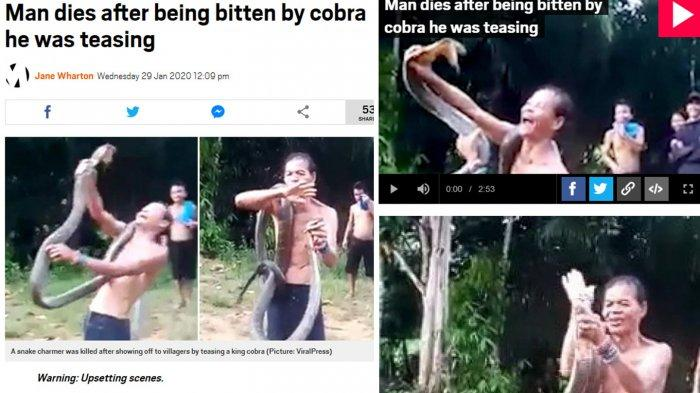 King Kobra Maut Tewaskan Pawang Ular di Kalbar Jadi Sorotan Media Asing