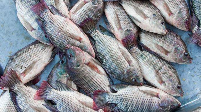 MAKAN Ikan Mujair Bisa Picu Kanker, Inilah 5 Efek Buruk Makan Ikan Mujair