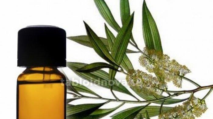 CEK FAKTA - Minyak Kayu Putih, Eucalyptus Bisa Jadi Antivirus Corona, Efektif Lawan Virus Covid-19?