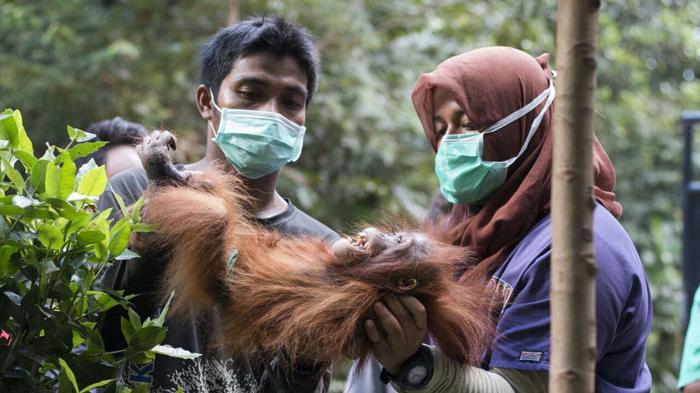 Menjaga Habitat Si Pongo