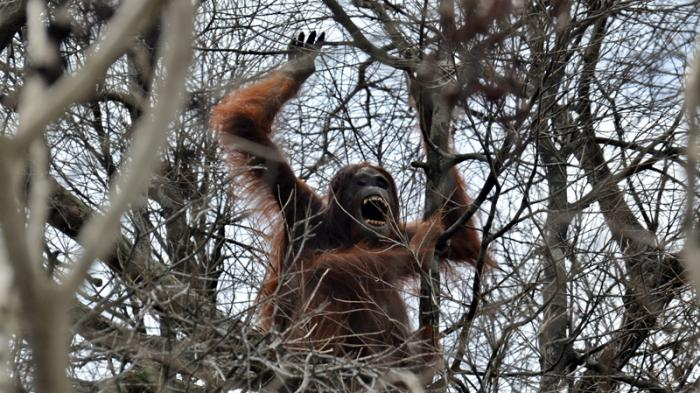 Waduh, Orangutan ini Kian Terhimpit Habitat Hidupnya