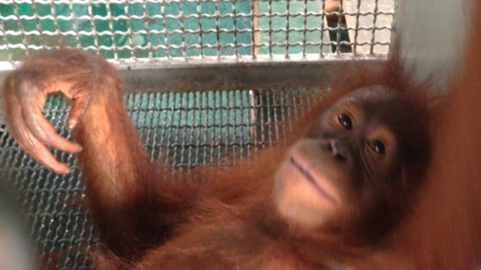 Empat Orangutan Diselamatkan dari Perkebunan Warga Siduk