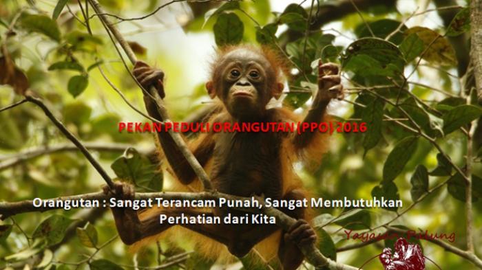 Orangutan Terancam Punah di Hutan Kalimantan dan Sumatera