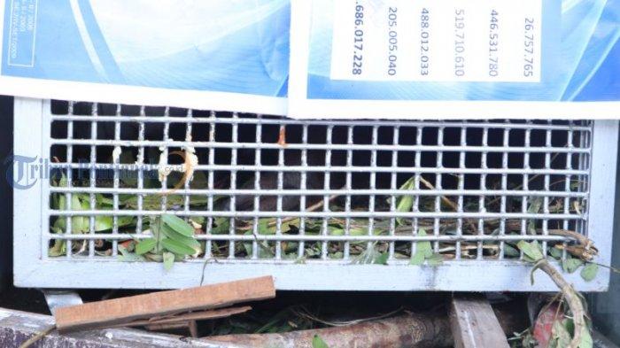 BKSDA Kalbar Amankan Orangutan di Wajok Hilir - orangutan_20180702_200125.jpg