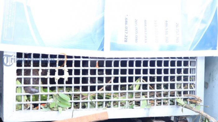 BKSDA Kalbar Amankan Orangutan di Wajok Hilir - orangutan_20180702_200336.jpg