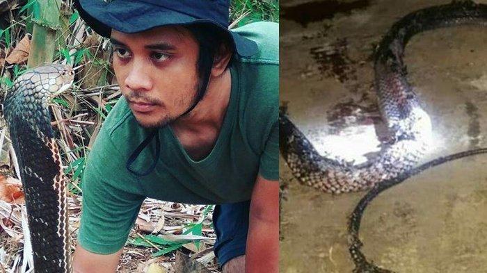 King Kobra Kalimantan Berdiam Diri Selama 4 Tahun, Begini Analisis Panji Petualang