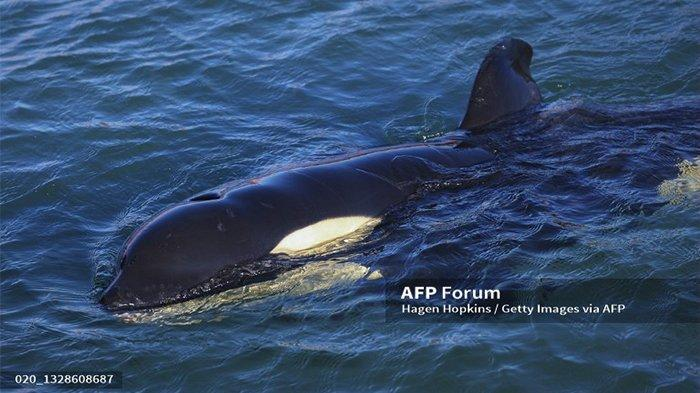 Benarkah Paus Orca Suka Mangsa Manusia? Kenali 5 Fakta Paus Orca di Laut