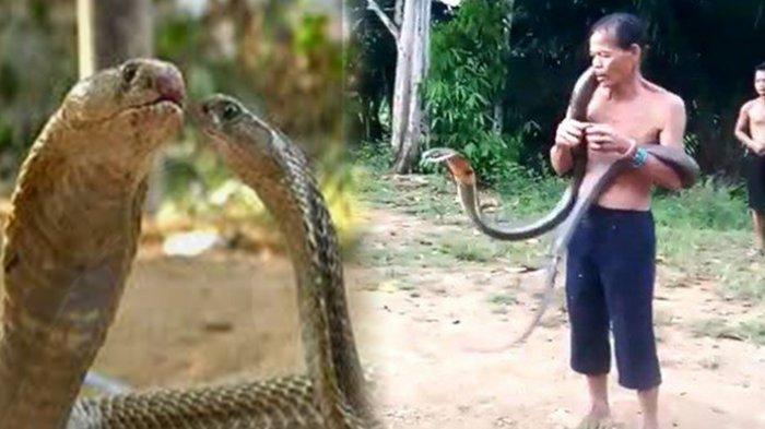 Pawang Ular di Kalbar Tewas Dipatok King Kobra, Terungkap Indonesia Ternyata Darurat Anti Bisa