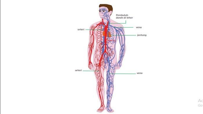 Gambar Organ Peredaran Darah Manusia & Cara Kerja Sistem Peredaran Darah Buku Tematik Tema 4 Kelas 5