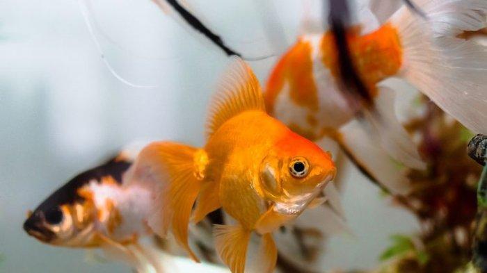 Penyebab Ikan di Akuarium Sering Mati Mendadak dan Cara Mengatasinya