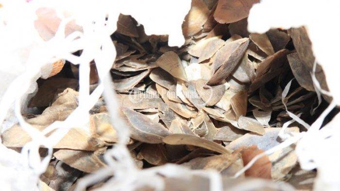 FOTO: Pengungkapan Kasus Perdagangan Gelap Sisik Trenggiling - perdagangan-sisik-trenggiling-2.jpg