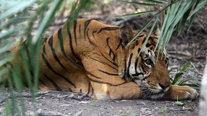 KRONOLOGI Wanita Muda Tewas Diterkam Harimau Sumatera, Jejak Ceceran Darah Jadi Petunjuk Letak Jasad
