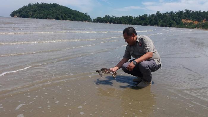 BKSDA Lepaskan Penyu Sisik ke Habitatnya di Pulau Datok