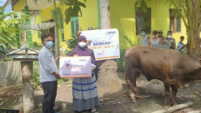 BPKH Sinergi dengan Lazismu Kalbar Salurkan 2 Ekor Sapi Kurban diKecamatan Simpang Hilir