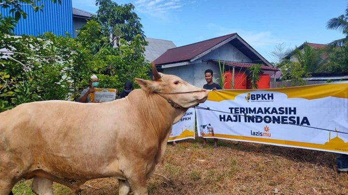 Lazismu Kalbar Distribusikan Sapi Kurban 350 Kg ke Pangkalan Buton Sukadana