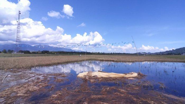 Ratusan Hektar Sawah Petani di Desa Sedahan Jaya Gagal Panen, Akibat Banjir Beberapa Hari Lalu