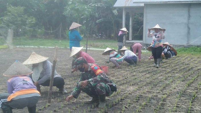 Babinsa Rukmajaya Bantu Petani Desa Rukmajaya Tanam Padi dimasa Pandemi
