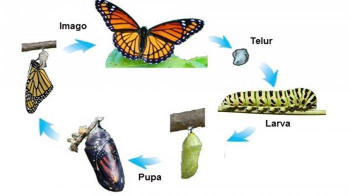 Contoh Hewan Mengalami Metamorfosis Sempurna Tidak Sempurna Alami Perubahan Tiap Tahap Tribun Pontianak