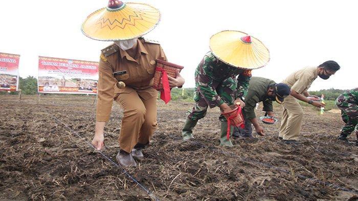 Bupati Landak Tanam Perdana Jagung di Desa Amboyo Inti