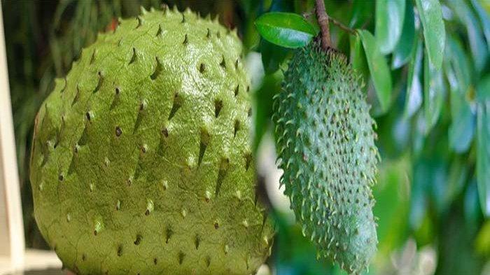 TANAMAN Dengan Nama Latin Annona Muricata Memiliki khasiat untuk Melawan Kanker
