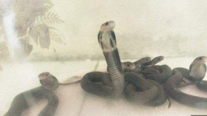 TEROR Kobra Belum Berakhir, 6 Ular Kobra Tiba-tiba Masuk ke Rumah Warga di Gresik hingga Buat Panik
