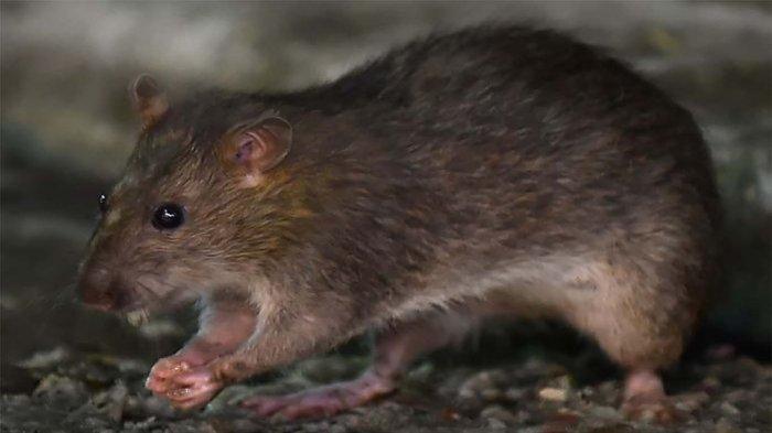 Bahan Alami untuk Usir Tikus dari Rumah ! Dijamin Manjur dan Aman