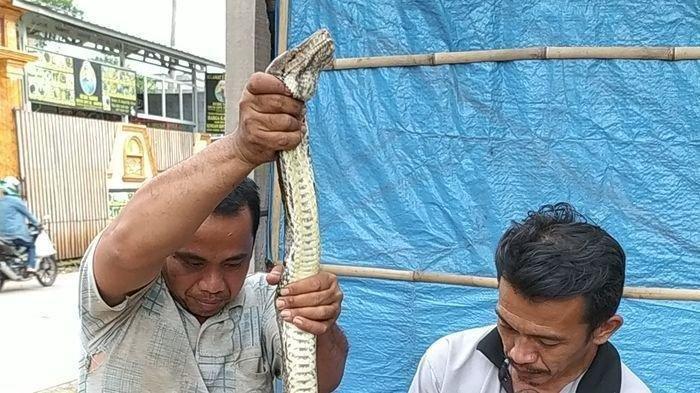 Seorang Warga Teriak saat Ular Piton 4,5 Meter Melilit Tubuh Itik Miliknya