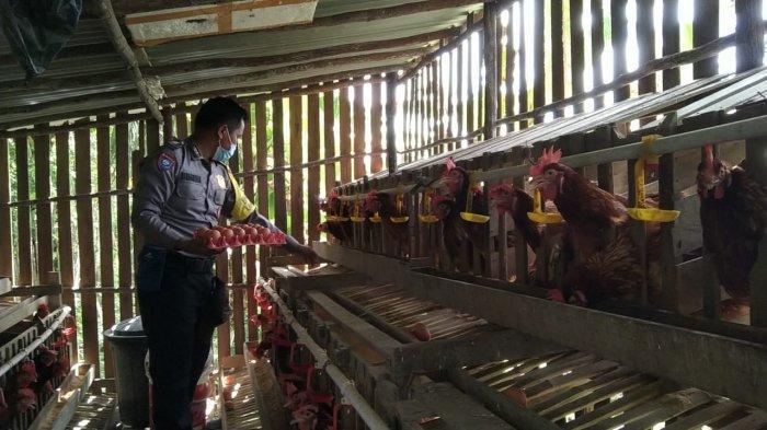 Inovasi di Tengah Pandemi, Polisi di Melawi Ternak Ayam Petelur dan Kembangkan Madu Kelulut