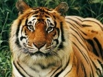 Harimau2.jpg