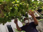 anton-kamaruddin-menunjukkan-tanaman-anggur-hasil-budidaya.jpg