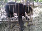 beruang-hitam-madu_20170421_153243.jpg