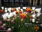 bunga-tulip-yang-indah.jpg