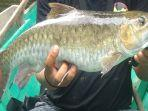 ikan-semah-yang-berukuran-31-kilogram-254.jpg